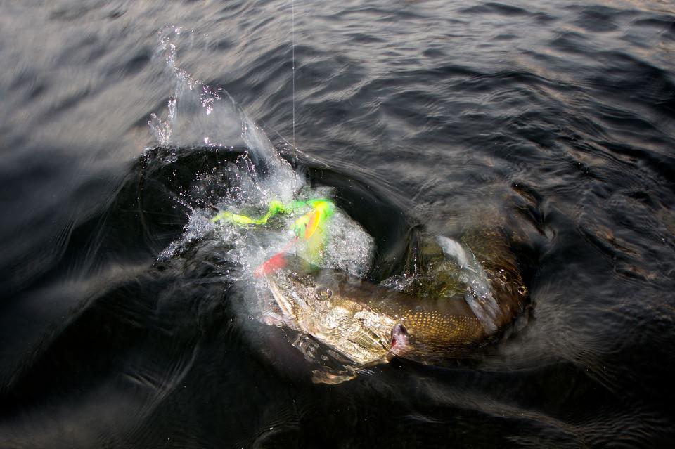 Улов на виброхвост от Savage Gear Reel Eel